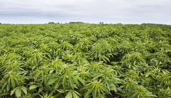 US hemp industry continues to face problems of oversupply, murky regulation